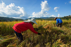 Farmers harvest their crops sharply during the harvest season in. Chiang Mai, Thailand: Farmers harvest their crops sharply during the harvest season in the rice Royalty Free Stock Photo
