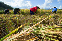 Farmers harvest their crops sharply during the harvest season in. Chiang Mai, Thailand: Farmers harvest their crops sharply during the harvest season in the rice Stock Photo