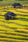 Farmers harvest their crops sharply during the harvest season i. Chiang Mai, Thailand: Farmers harvest their crops sharply during the harvest season in the rice Royalty Free Stock Image