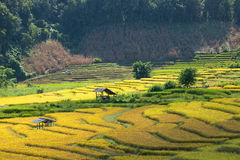 Farmers harvest their crops sharply during the harvest season i. Chiang Mai, Thailand: Farmers harvest their crops sharply during the harvest season in the rice Royalty Free Stock Photos