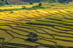 Farmers harvest their crops sharply during the harvest season i. Chiang Mai, Thailand: Farmers harvest their crops sharply during the harvest season in the rice Royalty Free Stock Photography