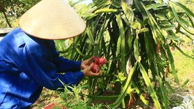 Farmers harvested dragon. Haiduong, Vietnam, Farmers harvested dragon stock footage