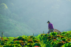 Farmers harvesting on cabbage field with mountain background, No Royalty Free Stock Photo