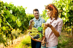 Farmers harvesting  grapes in a vineyard Royalty Free Stock Images