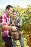 Farmers harvesting grapes in a vineyard Stock Photos