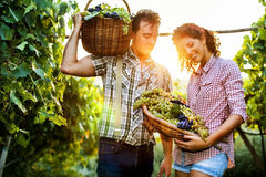Farmers harvesting  grapes in a vineyard Stock Images