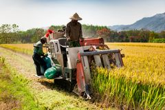 Free Farmers Harvesting Organic Paddy Rice Farmland Royalty Free Stock Image - 122480696