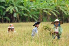 Farmers harvesting rice Stock Photo