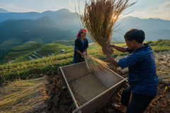Farmers harvesting rice at Famous terrace in vietnam Royalty Free Stock Image