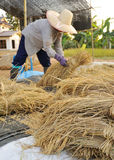 Farmers harvesting in rice field  Thailand Stock Image