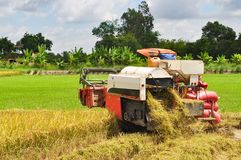 Farmers are harvesting rice in the golden field in spring, in western Vietnam September 2014 Royalty Free Stock Photography