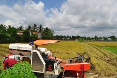 Farmers are harvesting rice in the golden field in spring, in western Vietnam September 2014 Royalty Free Stock Photo