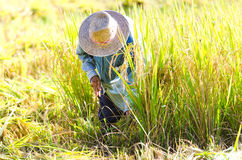 Farmers harvesting rice in rice field Royalty Free Stock Photography