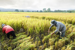 Farmers harvesting rice in rice field Royalty Free Stock Photo