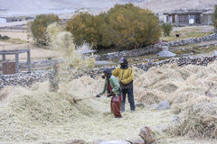 Farmers harvesting rice in rice field in Ladakh Royalty Free Stock Photo