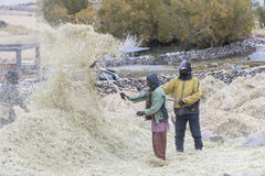 Farmers harvesting rice in rice field in Ladakh Royalty Free Stock Photography