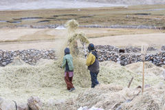 Farmers harvesting rice in rice field in Ladakh Royalty Free Stock Photos