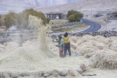 Farmers harvesting rice in rice field in Ladakh Royalty Free Stock Image