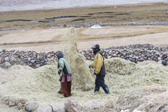 Farmers harvesting rice in rice field in Ladakh Royalty Free Stock Image