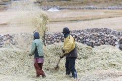 Farmers harvesting rice in rice field in Ladakh Stock Photo