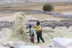 Farmers harvesting rice in rice field in Ladakh Stock Photos