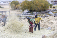 Farmers harvesting rice in rice field in Ladakh Royalty Free Stock Images