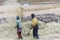 Farmers harvesting rice in rice field in Ladakh Stock Images