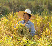 Farmers harvesting rice in rice field Thailand Royalty Free Stock Photography