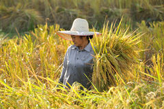 Farmers harvesting rice in rice field  Thailand Royalty Free Stock Photos