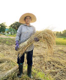Farmers harvesting rice in rice field  Thailand Royalty Free Stock Images