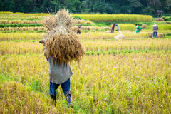 Farmers harvesting rice in rice field Royalty Free Stock Images