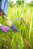 Farmers harvesting rice Royalty Free Stock Image