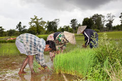 Farmers harvesting rice in the south of Don Khon Laos Royalty Free Stock Image