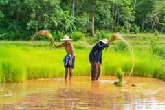 Farmers harvesting rice sprouts to replant in rice farm. Sakonnakhon, Thailand - July 30, 2016: Farmers harvesting rice sprouts from small area farm to replant Stock Photo