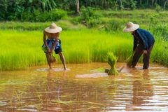 Farmers harvesting rice sprouts to replant in rice farm. Sakonnakhon, Thailand - July 30, 2016: Farmers harvesting rice sprouts from small area farm to replant Stock Photos