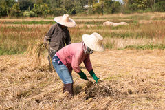 The farmers harvesting rice Royalty Free Stock Photography