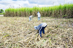 Farmers are harvesting of sugarcane field Stock Image