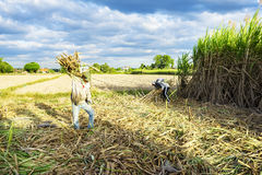 Farmers are harvesting of sugarcane field Stock Photos