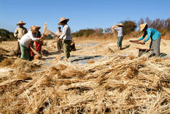 Farmers harvesting wheat on the countryside of Pindaya Royalty Free Stock Photography