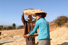 Farmers harvesting wheat on the countryside of Pindaya Stock Images