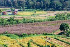 Farmers Helping to harvest the rice fields at Pua, Nan, November 1, 2018. stock photo