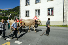 Farmers with a herd of cows on the annual transhumance at Engelb Royalty Free Stock Photography