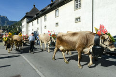 Farmers with a herd of cows on the annual transhumance at Engelb Stock Images