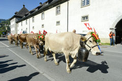 Farmers with a herd of cows on the annual transhumance at Engelb Stock Photography