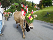 Farmers with a herd of cows on the annual transhumance on the st Stock Image