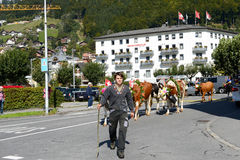 Farmers with a herd of cows Stock Images