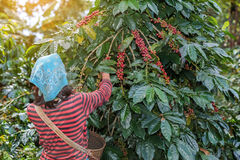 Farmers hill picking arabica coffee berries. Farmers hill picking arabica coffee berries in red and green on its branch tree at plantation Stock Image