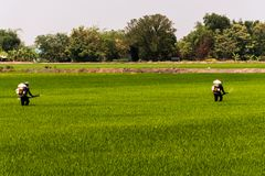 Farmers are injecting pesticides protect plants at rice fields stock photos