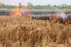 farmers intentionally burn off their Rice stubble fields to prepare for the next cycle Stock Image