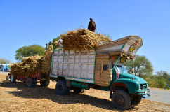 Farmers loading truck with sugar cane! Stock Photo